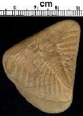 Dalmanites cf. limulurus