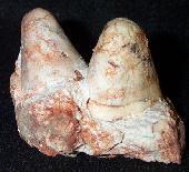 Shelbyoceras robustum