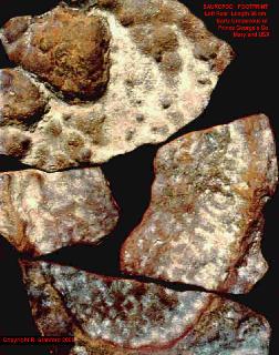 Brontopodus (species)