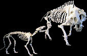 Daphoenodon superbus (left) and Dinohyus hollandi