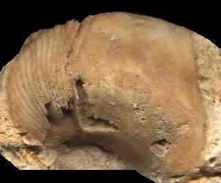 Etremoceras curvatum