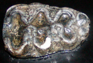 Eubelodon morrilli tooth
