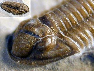 Breviphillipsia sampsoni