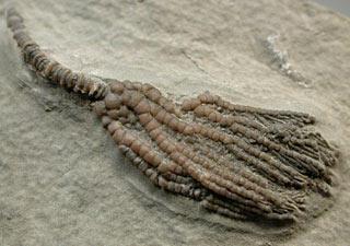 Pachlocrinus aequalais