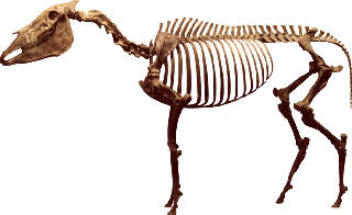 Equus simplicidens