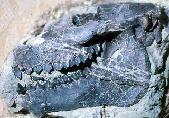 Eporeodon occidentalis