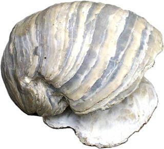 Gryphaea sp.
