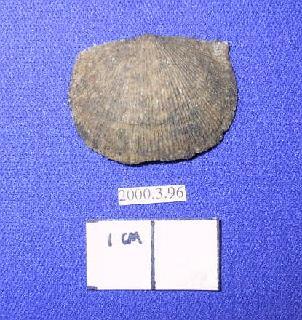 Devonochonetes coronatus (Conrad)
