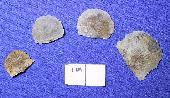 Tropidoleptus carinatus (Conrad)