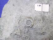 Myelodactylus sp.