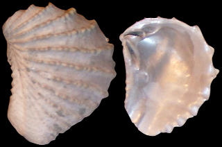 Pterotrigonia thoracica