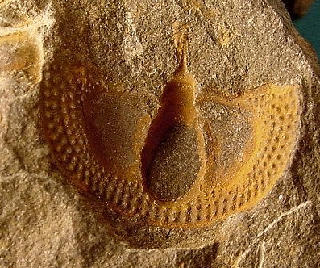 Cryptolithus tesselatus
