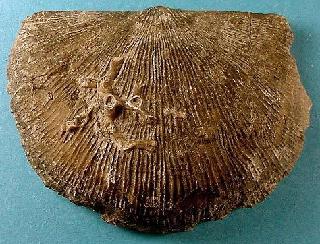 Megastrophia concava