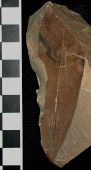 Persea pseudocarolinensis