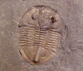 Isoteloides flexus