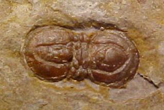 Peronopsis segmenta