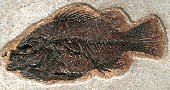 Priscacara liops