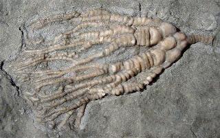 Cupulocrinus jewetti