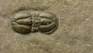 Ptychagnostus richmondensis
