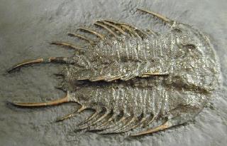 Olenoides nevadensis