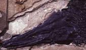 Lepisosteus