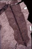 Acrostichum hesperium