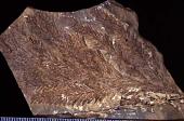 Sequoia affinis