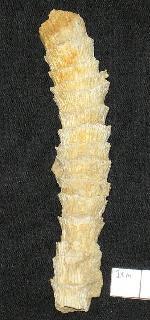 Tabulophyllum sinuosum (Hall)