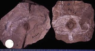 Ptelea cassoidea