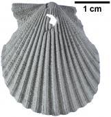 Chlamys corteziana