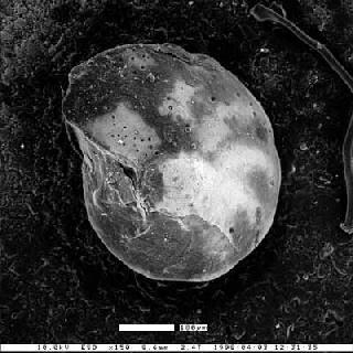 Cibicides felix