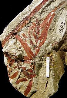 Podozamites arizonicus