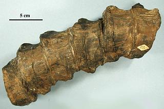 Shastasaurus pacificus