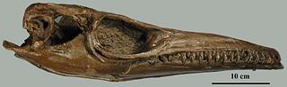 Plotosaurus bennisoni