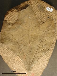 Erlingdorfia montana