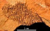 Helicoplacus