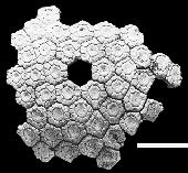 Glyptotherium texanum
