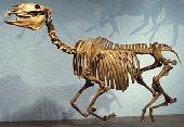 Equus pacificus