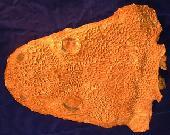 Metoposauroidea
