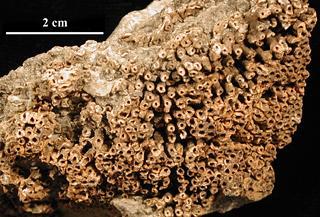 Neomultithecopora providensis