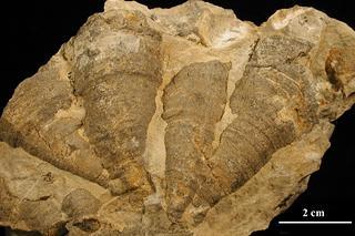 Palaeophylllum