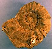 Prionocyclus
