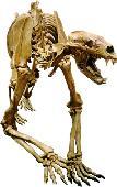 Arctodus simus