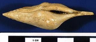 Calyptraphorus stamineus