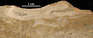 Ajacicyathus ichnusae