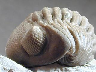 Phacops rana milleri