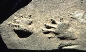 Dimetrodon tracks