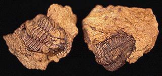 Odontocephalus aegeria