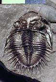 Neometacanthus