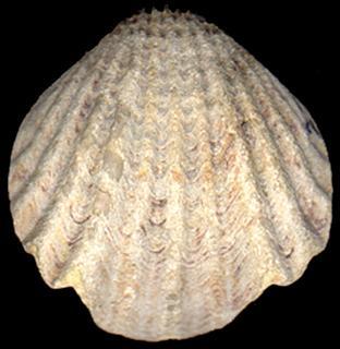 Rhynchotrema